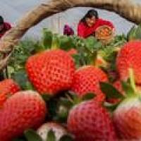 孩子采摘园吃草莓后呕吐、发烧、腹泻!快看怎么鉴别草莓?